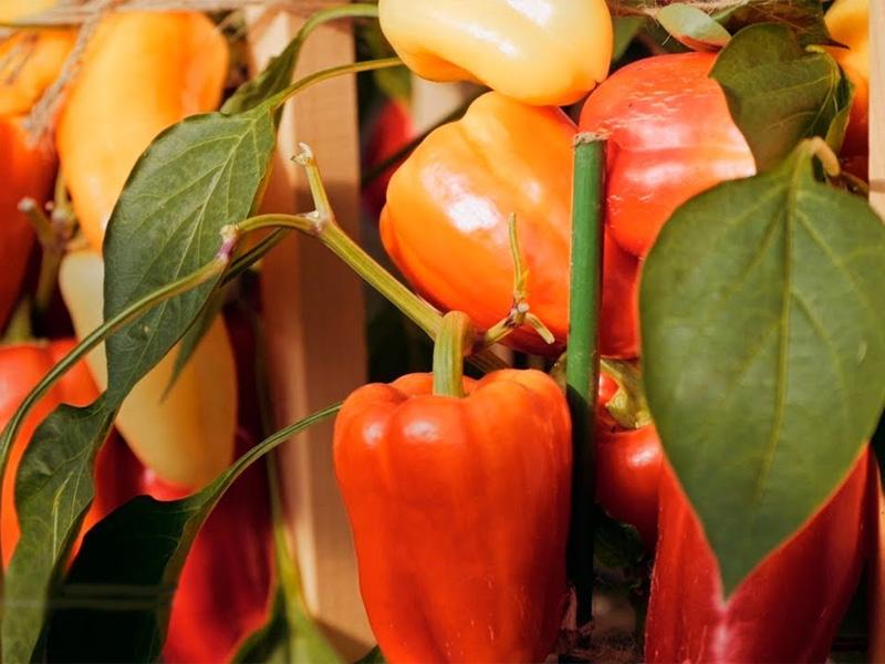 Лучшие сорта сладкого перца: описание сорта Боярин