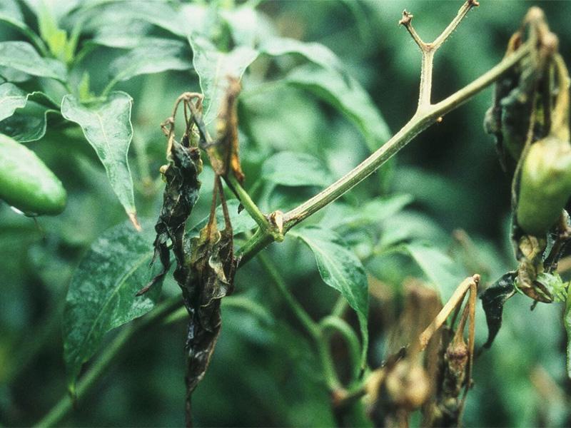 Mарганцовка как удобрение при болезнях растений
