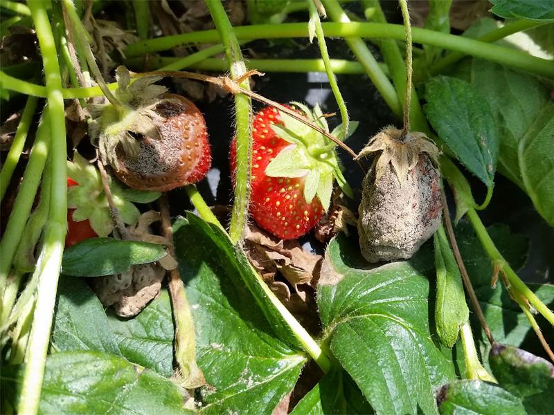 Mарганцовка как удобрение при гниении плодов