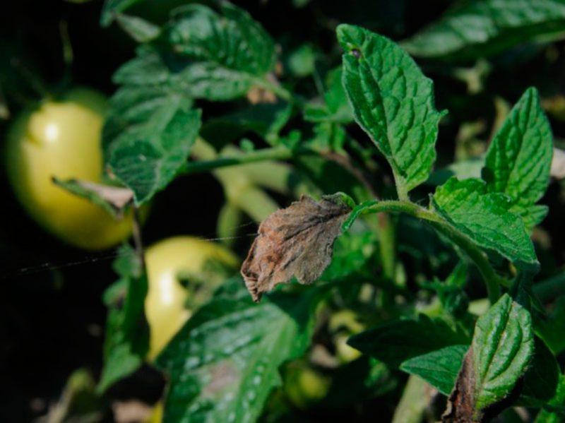 Медная проволока от фитофторы на помидорах