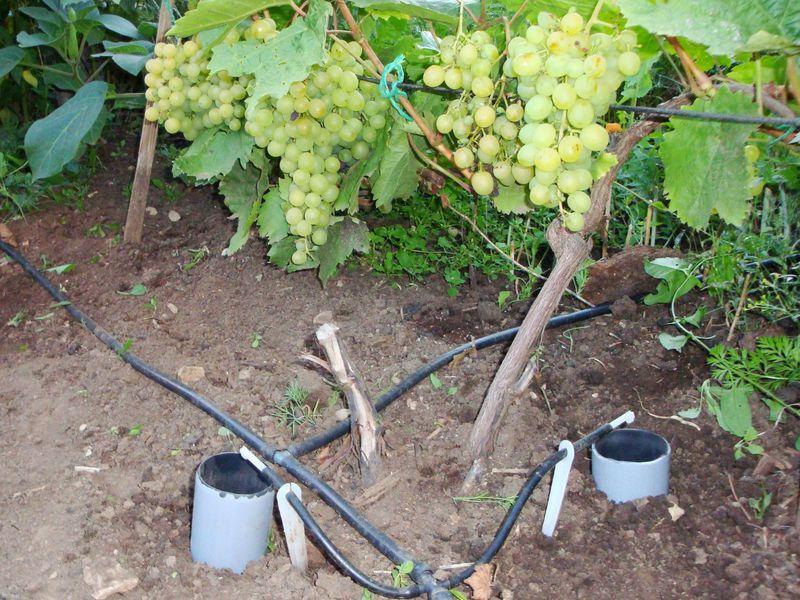 поливать виноград
