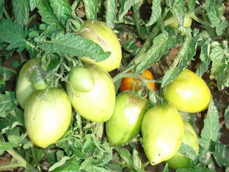 Мичуринские помидоры