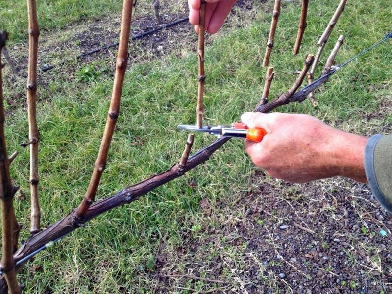 Как правильно обрезать виноград осенью в Подмосковье