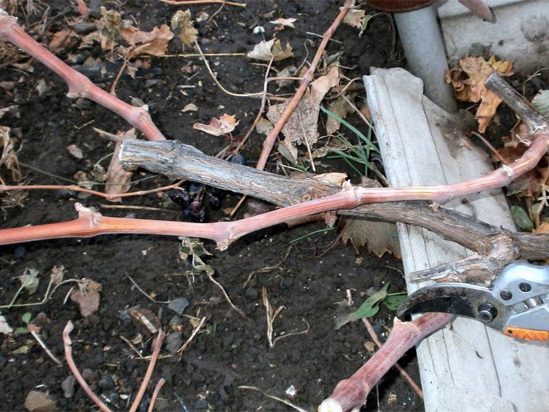 Как правильно обрезать виноград осенью на Урале