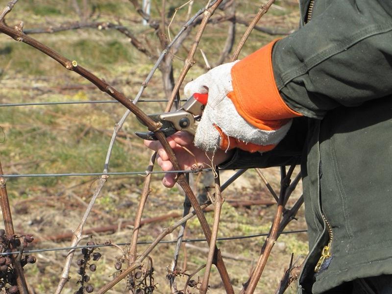 Как правильно обрезать виноград осенью и подготовка к процессу