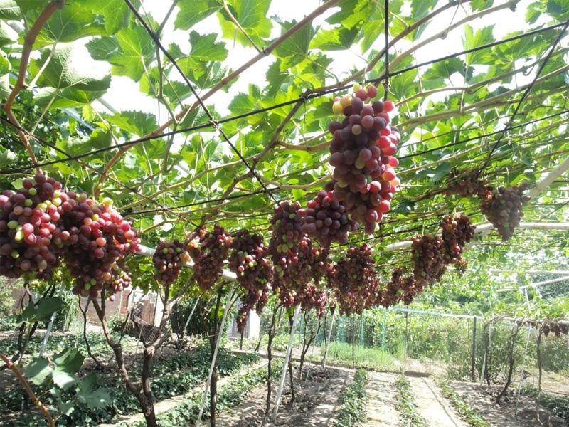Как правильно обрезать виноград осенью путем веерной формовки