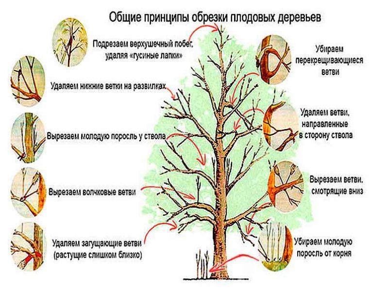 общая схема обрезки деревьев