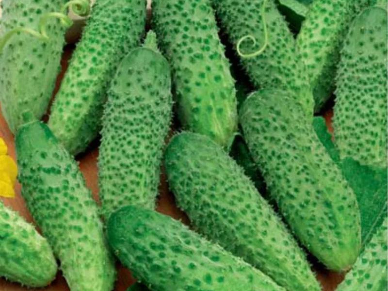 Огурцы Маша f1 описание сорта и особенности пупырчатых огурцов