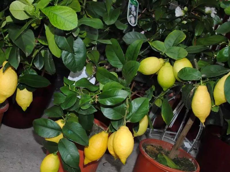 Описание комнатного лимона: сорта