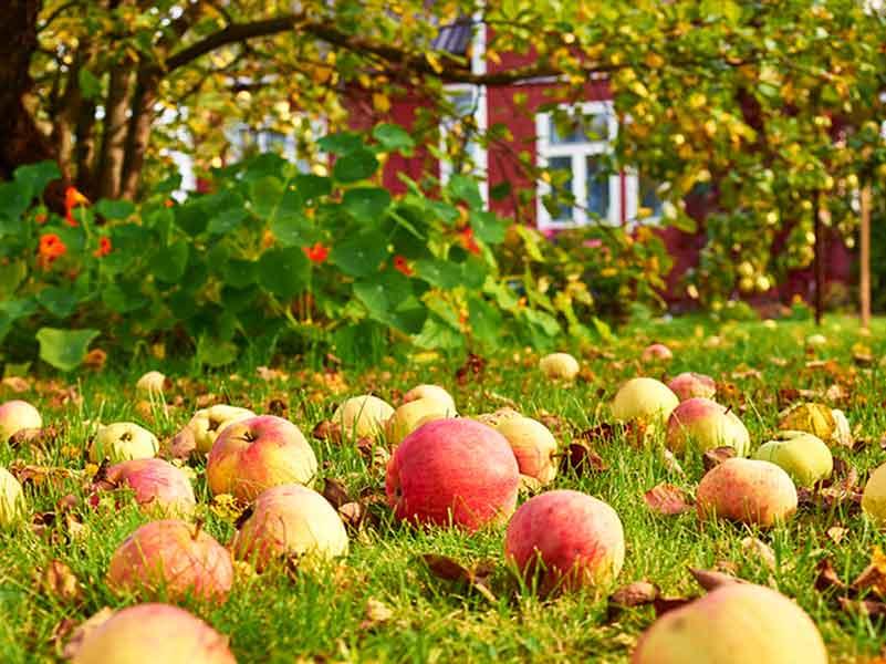 Осенняя обрезка яблонь для начинающих