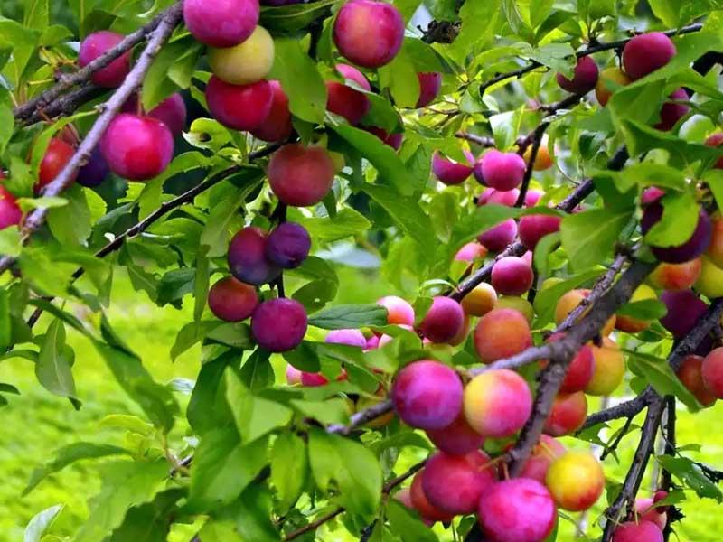 отсутствия цветения и плодоношения у сливы