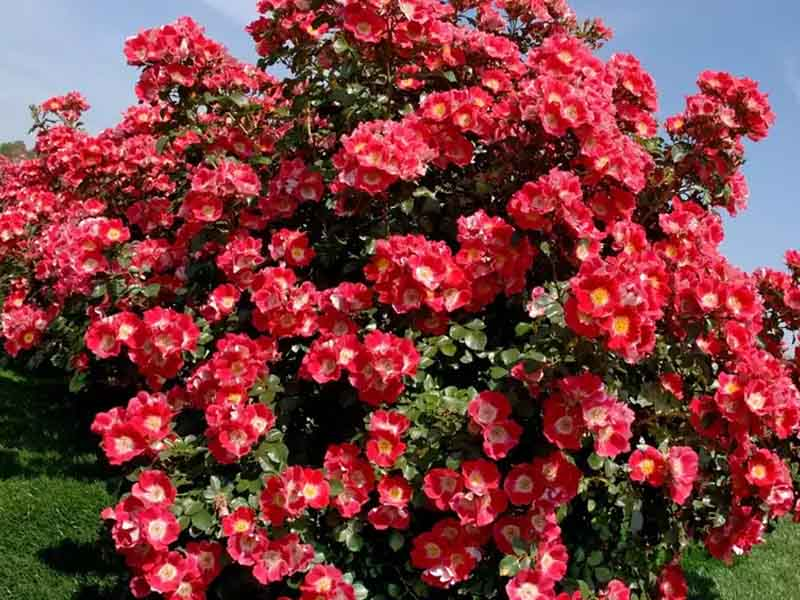 Парковые розы разновидности shrub (кустарник)
