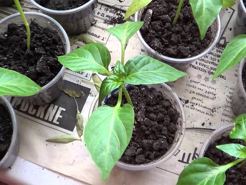 Как вырастить перец чили дома и высаживание растения