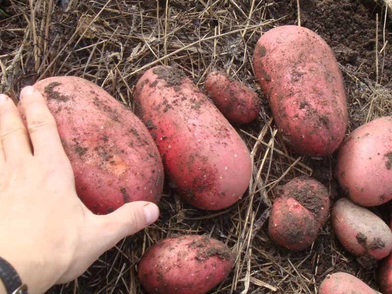 Плоды картофеля Ред скарлет