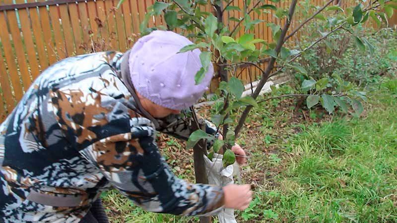 Подготовка к укрытию молодой яблони