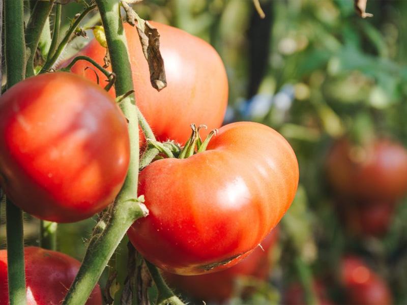Помидор титан - описание и как выращивать на даче