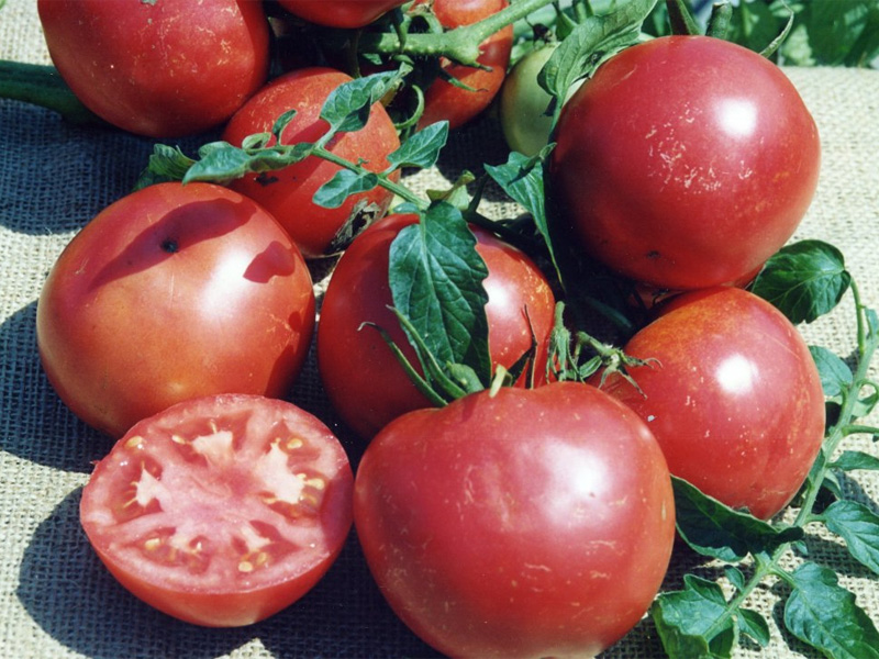 Помидор титан - описание и как ухаживать за овощем