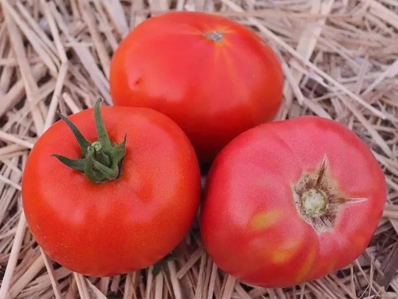 Помидор титан - описание и какие вырастают плоды