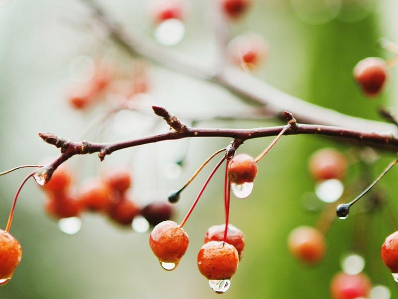 Порядок посадки вишни осенью