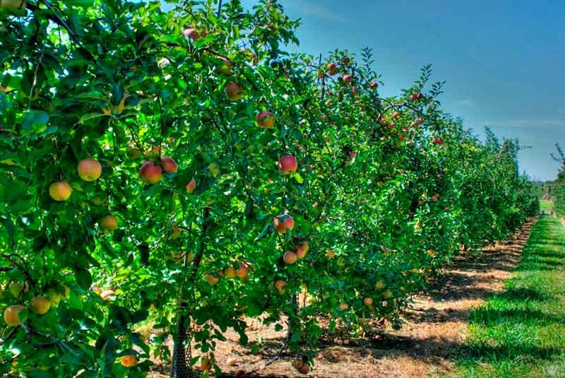 Посадка яблонь в ряд