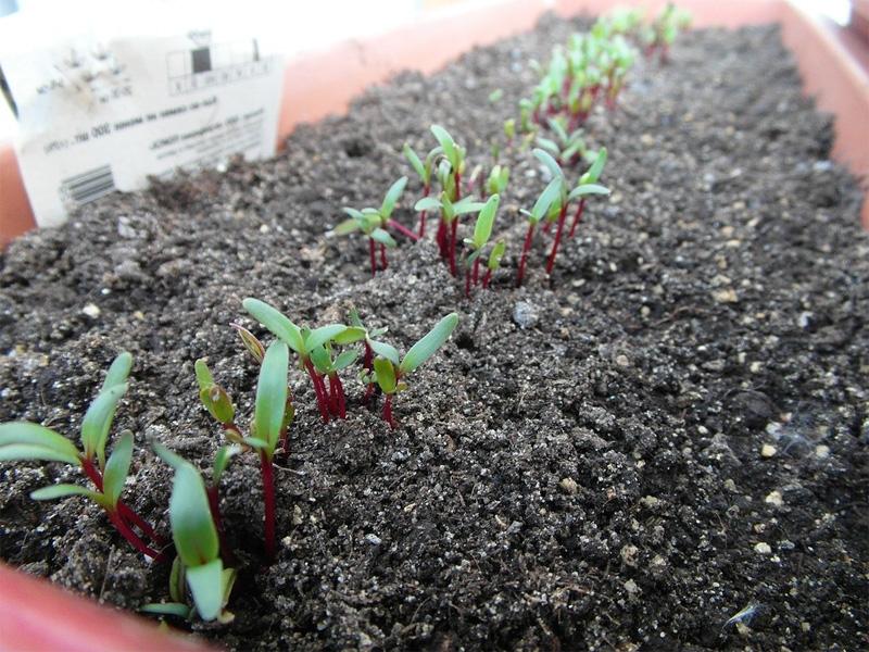 Посадка свеклы семенами в открытый грунт весной на даче