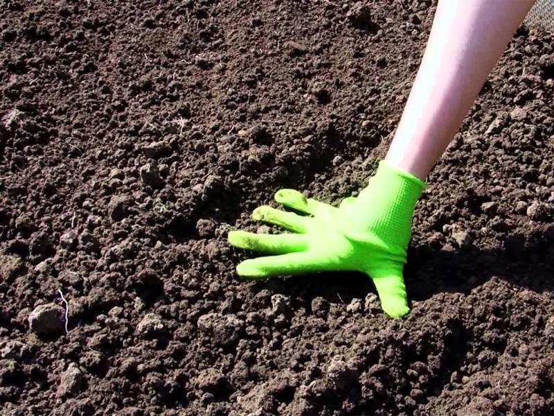 Посадка свеклы семенами в открытый грунт и подготовка почвы к посеву