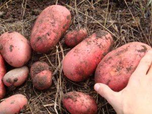 Ред скарлет картофель
