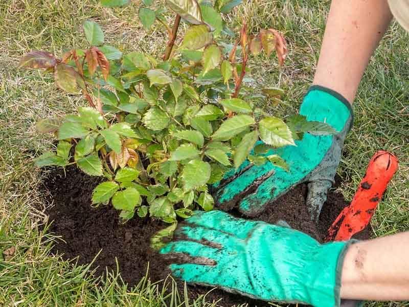 розы шрабы место для посадки