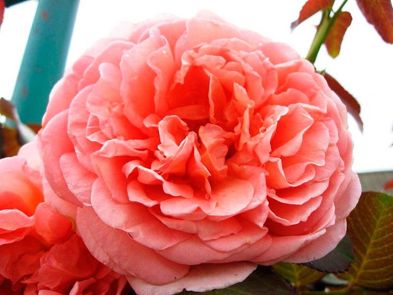 Роза шраб