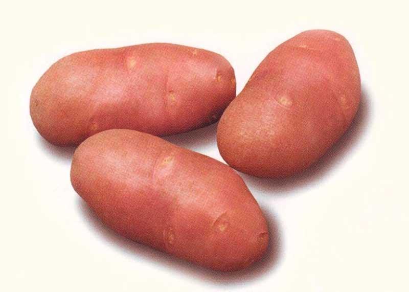 Сорт картофеля Скарлетт