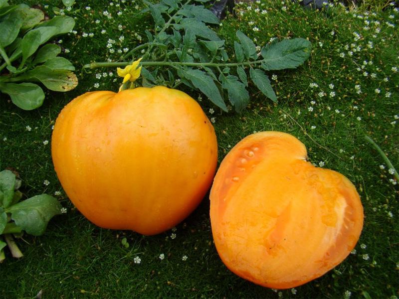 Сорт томата Медовый спас и сбор урожая