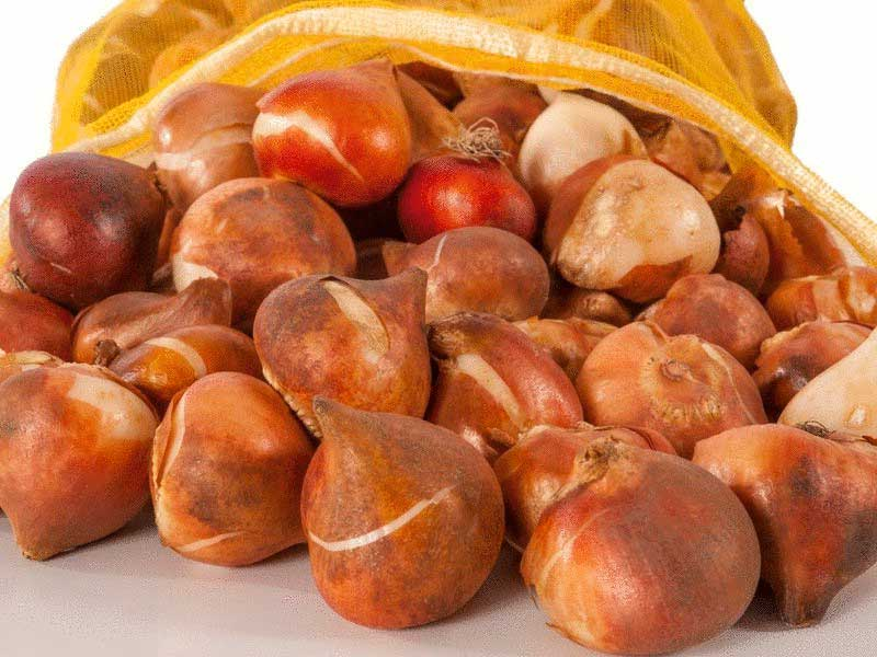 хранение луковиц тюльпанов после выкопки