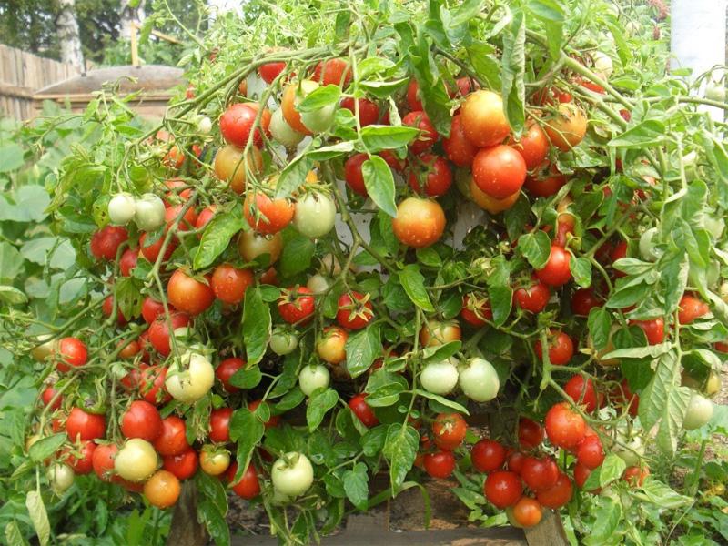 Томат Крайний север: характеристика и описание сорта помидор