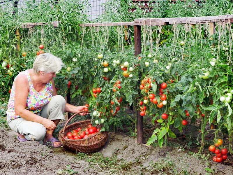 Томат Крайний север: характеристика и когда можно собирать урожай
