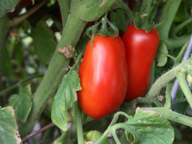 Томат Рома: описание идеального для консервации сорта и особенности растения