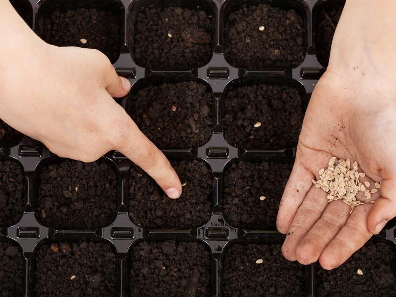 Томат сорта - Настенька и посев семян на рассаду