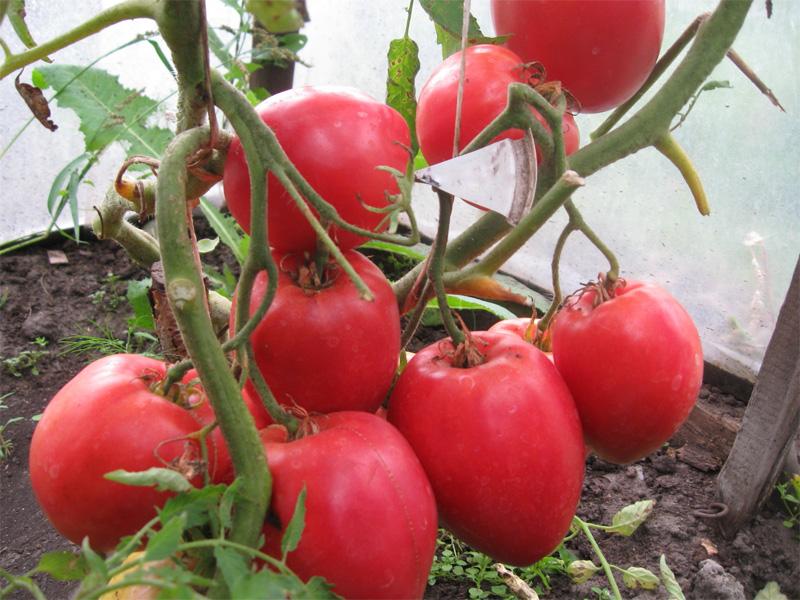 Томат сорта - Настенька и правила выращивания в теплице
