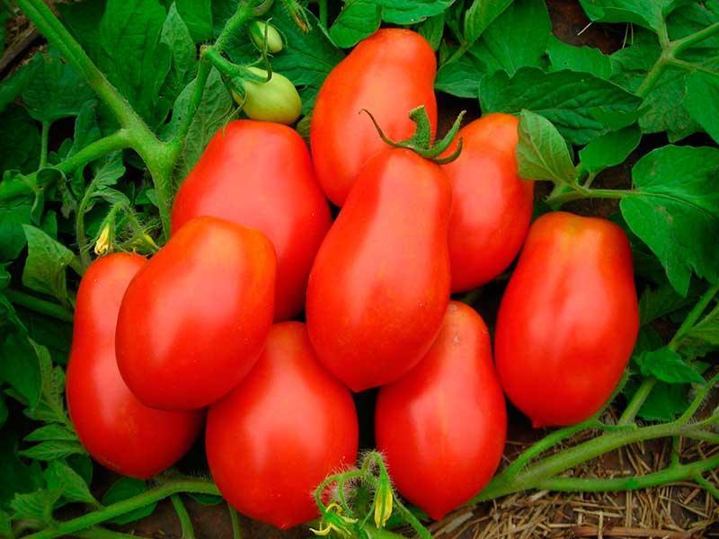 томат рома