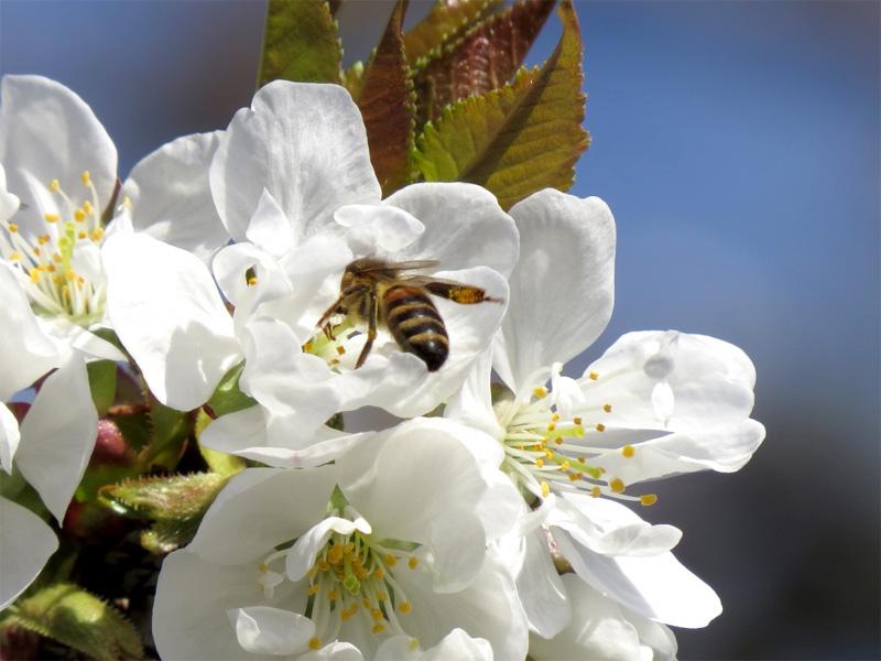 Вишня Надежда: описание сорта и как опыляется растение