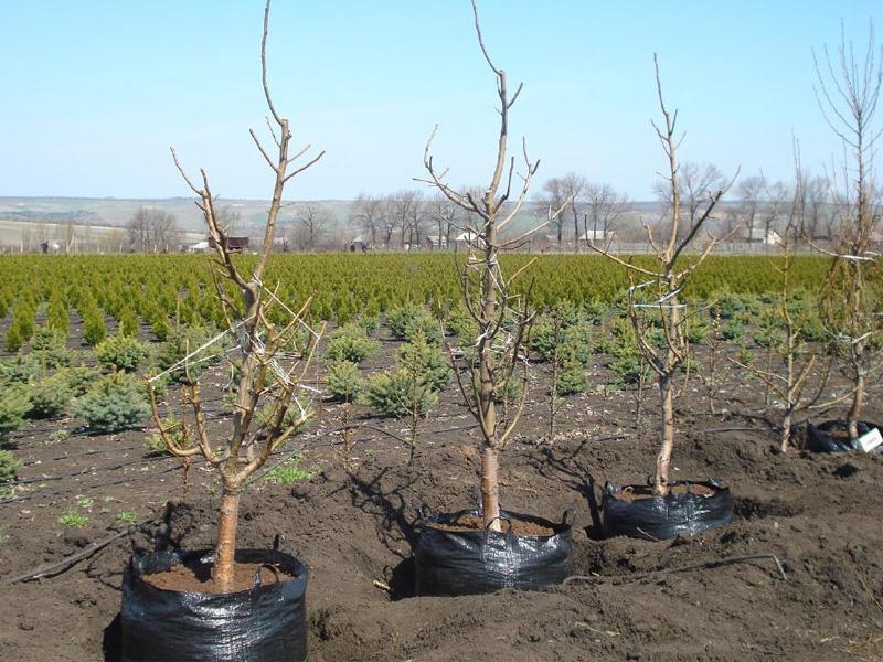 Вишня Надежда: описание сорта и как правильно посадить ягоду