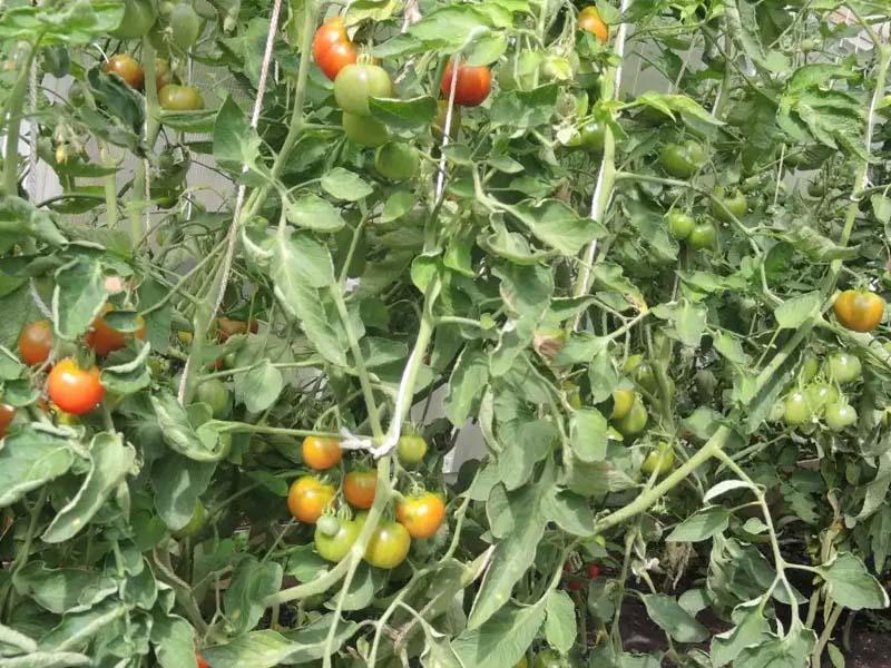 Выращивание Томатов Земляк