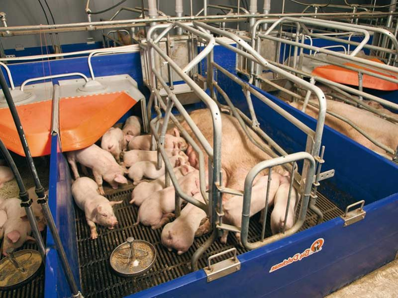 Датские технологии свиноводства