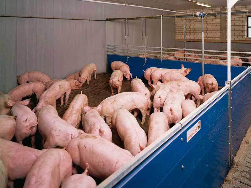 ЭМ-технологии в свиноводстве