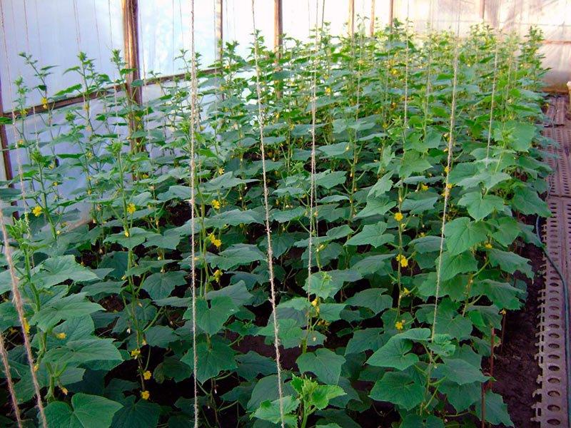 Формирование кустов огурцов в тепличных условиях и вертикальное выравнивание