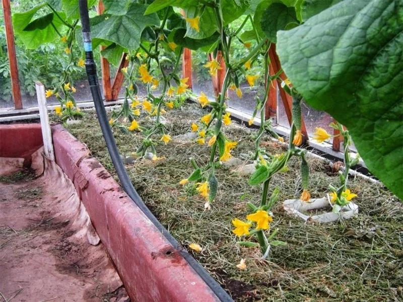 Формирование кустов огурцов в тепличных условиях и особенности организации полива