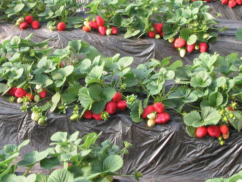 Как посадить клубнику под пленку для вкусного урожая