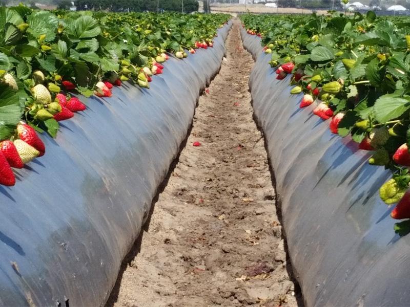 Как посадить клубнику под пленку и правила выбора материала