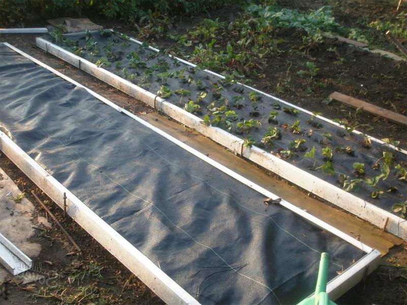 Как посадить клубнику под пленку и какая лучше подойдет для ягоды