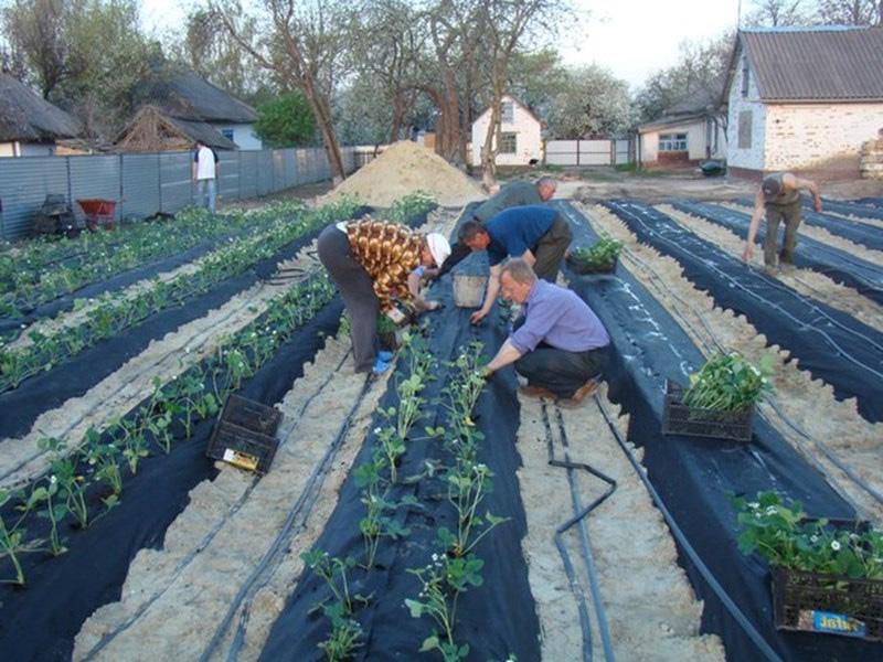 Как посадить клубнику под пленку и процесс посадки культуры