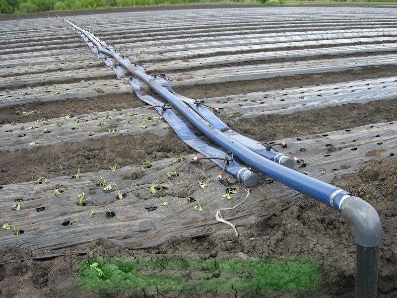 Как посадить клубнику под пленку и организация полива ягоды
